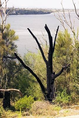 Tree Burnt By Bushfire Poster by Adrian Thomas