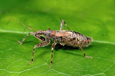 Tree Damsel Bug Poster by Nigel Downer