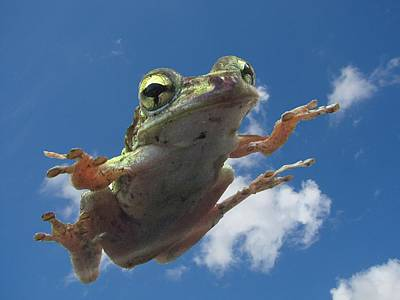 Tree Frog Flying Poster by Richard Chen