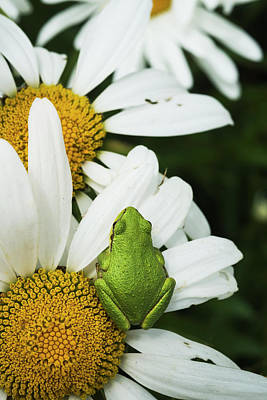 Tree Frog Rests On A Daisy  Astoria Poster