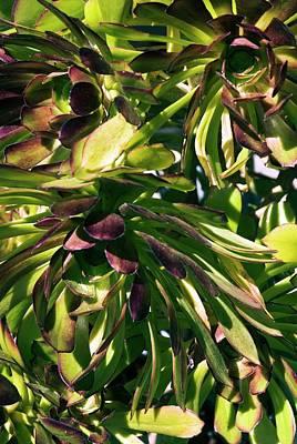 Tree Houseleek (aeonium Atropurpureum) Poster