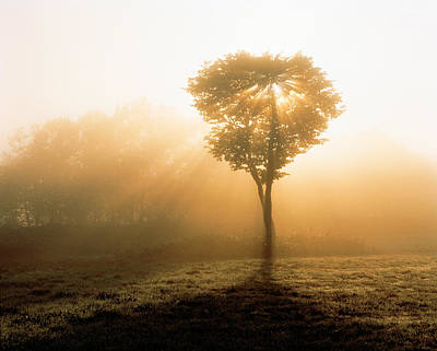 Tree In Early Morning Mist Poster