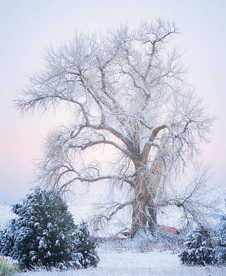 Tree Of Snow Poster by Darren  White