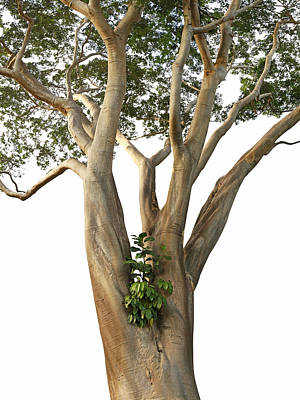 Tree On White - Albizia Niopoides And Epiphyte Poster