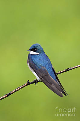 Tree Swallow II - D009009 Poster by Daniel Dempster
