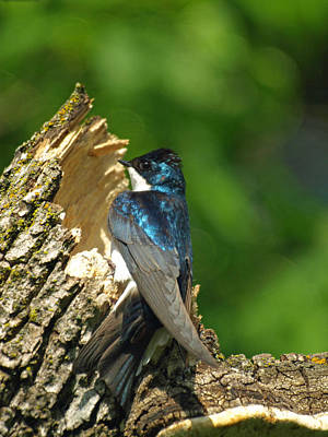 Tree Swallow Poster by James Peterson