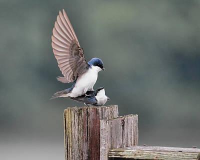 Tree Swallows Mating 3 Poster by Jai Johnson