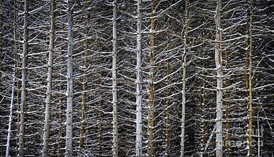 Tree Trunks In Winter Poster