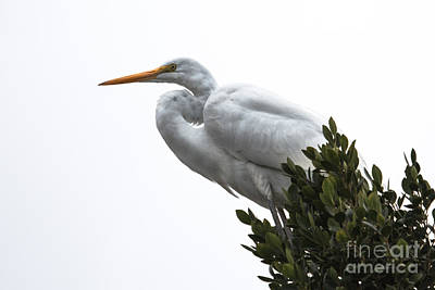Treed Egret Poster by Robert Bales