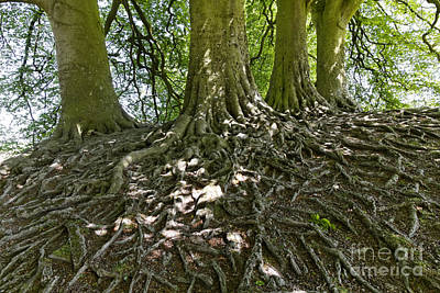Trees And Roots Wiltshire England Poster