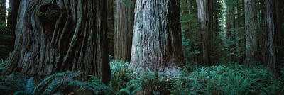 Trees In A Forest, Jedediah Smith Poster by Panoramic Images
