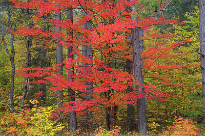 Trees In A Forest, Schoolcraft County Poster by Panoramic Images