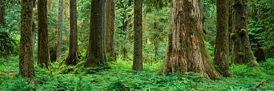 Trees In A Rainforest, Hoh Rainforest Poster by Panoramic Images