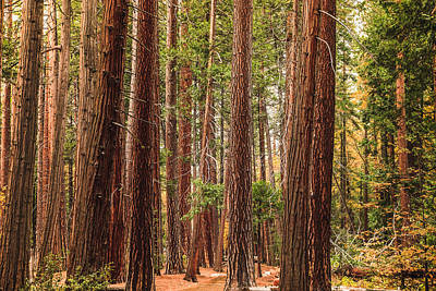 Trees Of Yosemite Poster