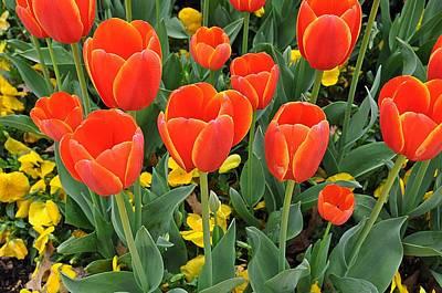 Trendy Tulips  Poster