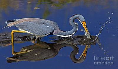Poster featuring the photograph Tri Color Heron Splash by Larry Nieland