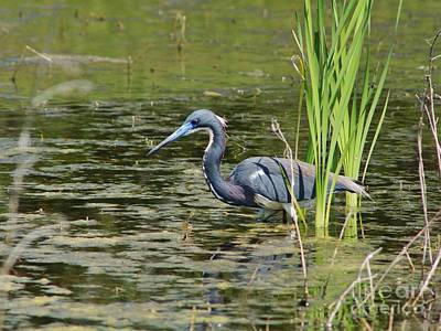 Tri-colored Heron At Local Pond Poster by Lynda Dawson-Youngclaus