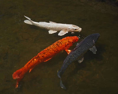 Tri-colored Koi Poster by Rona Black