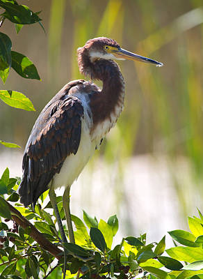 Tricolored Heron In The Everglades Poster by Mr Bennett Kent