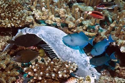 Triggerfish Feeding On A Dead Poster