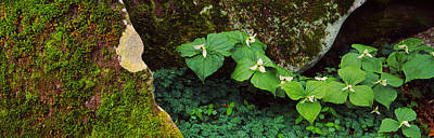 Trillium Wildflowers On Plants, Great Poster by Panoramic Images