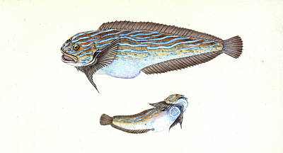 Trimaculated Wrasse, Labrus Trimaculatus Poster by Artokoloro
