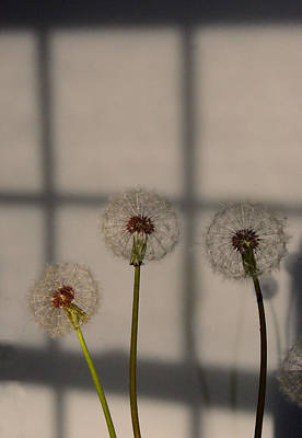 Trio Of Dandelions Poster by Margie Avellino