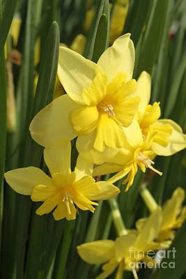 Tripartite Daffodil Poster
