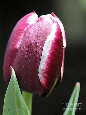 Triumph Tulip Named Jackpot Poster by J McCombie
