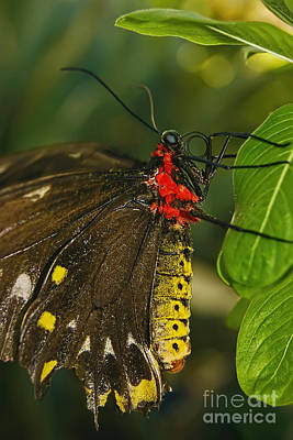 Poster featuring the photograph Troides Helena Butterfly  by Olga Hamilton