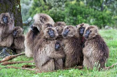 Troop Of Gelada Baboons Huddled Together Poster