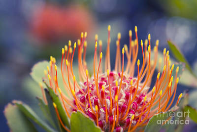 Tropical Sunburst - Leucospermum Pincushion Protea Flower Kula Maui Hawaii  Poster by Sharon Mau