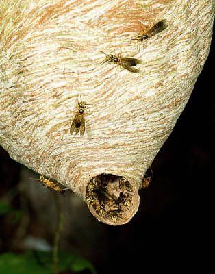 Tropical Wasp Nest Poster by Dr Morley Read