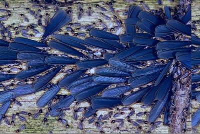 Tropical Winged Termites Poster