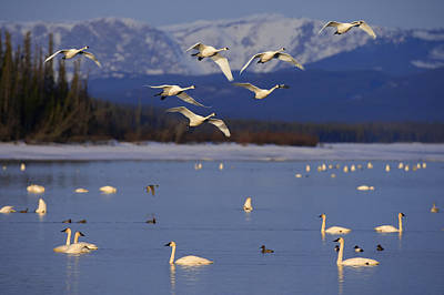 Trumpeter & Tundra Swans Rest  Marsh Poster by John Hyde