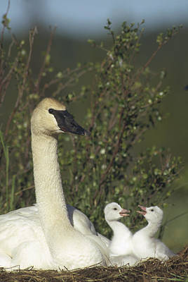Trumpeter Swan And Squabbling Cygnets Poster by Michael Quinton