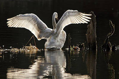 Poster featuring the photograph Trumpeter Swan Stretch by Inge Riis McDonald