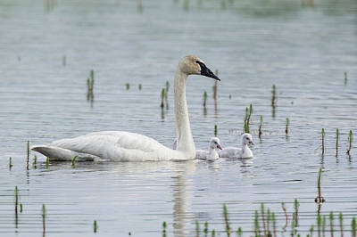 Trumpeter Swan With Cygnets Poster by Ken Archer