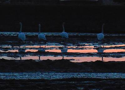 Trumpeter Swans In Pink Poster