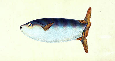Truncated Sun-fish, Tetrodon Truncatus, 1803 Poster by Artokoloro