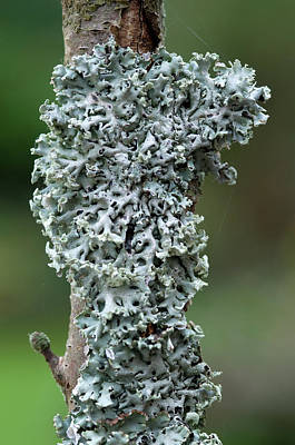 Tube Lichen Poster by Nigel Downer