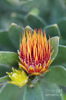 Tufted Pincushion Protea Poster by Neil Overy