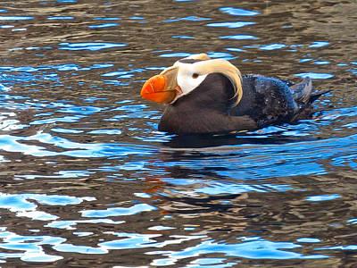 Tufted Puffin Swimming At Alaska Sea Life Center In Seward. Ak Poster