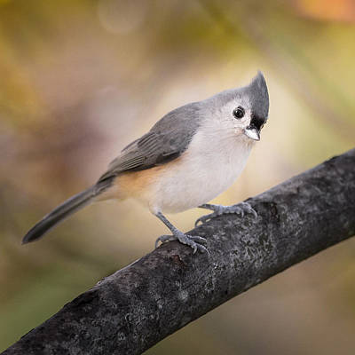Tufted Titmouse Poster by Bill Wakeley