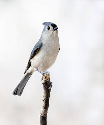 Poster featuring the photograph Tufted Titmouse by David Lester