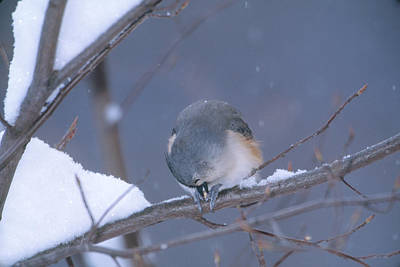 Tufted Titmouse Eating Seeds Poster by Paul J. Fusco