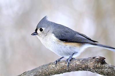Tufted Titmouse On Dogwood 3 Poster by Thomas R Fletcher