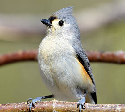 Tufted Titmouse Poster by Susan Leggett