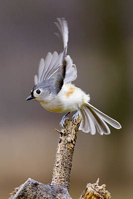 Tufted Titmouse Takeoff Poster by David Lester