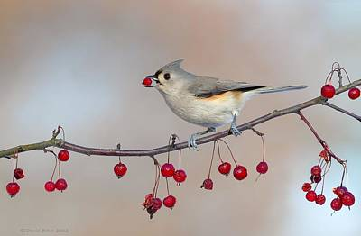 Tufted Titmouse With Red Berry Poster